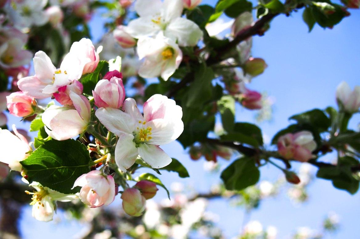 Apfelblüten (1 von 1).jpg
